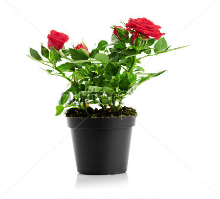 stock-photo-red-rose-in-the-flower-pot
